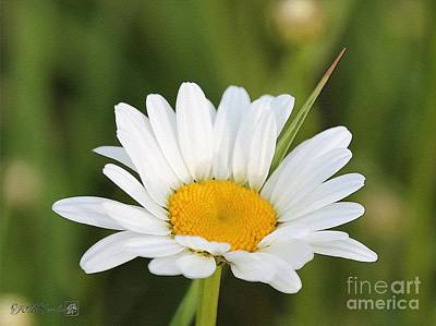 Dog Close-up Painting - Wildflower Named Oxeye Daisy by J McCombie