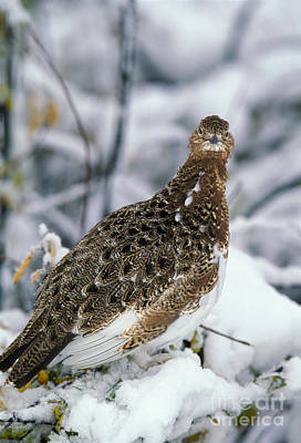 Willows In Fall Photograph - Willow Ptarmigan Lagopus Lagopus by Ron Sanford