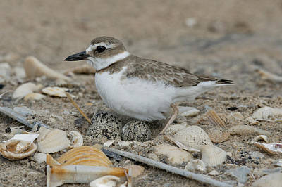 Photograph - Wilsons Plover by Anthony Mercieca