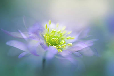 Macro Photograph - Windflower by Jacky Parker