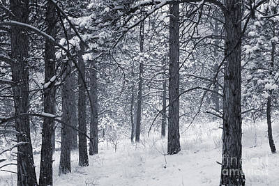 Steven Krull Royalty-Free and Rights-Managed Images - Winter in Pike National Forest by Steven Krull