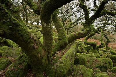 Quercus Photograph - Wistman's Wood by Bob Gibbons