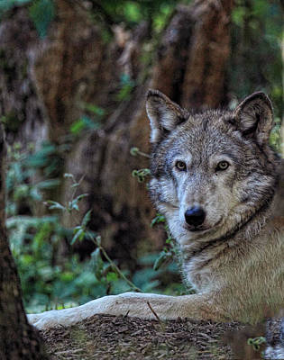 Wolve Photograph - Wolve by Ray Morris