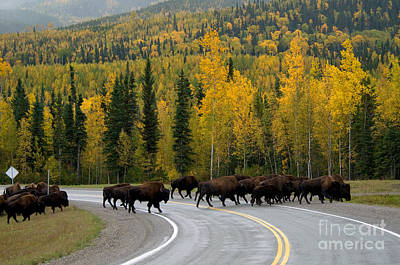 Bison Photograph - Wood Bison by Mark Newman