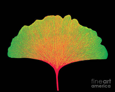 X-ray Of Ginkgo Leaf Art Print by Bert Myers