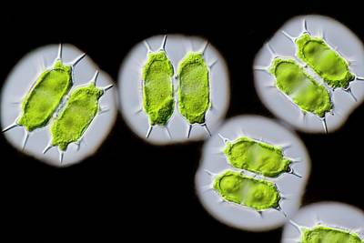 Indian Ink Photograph - Xanthidium Antilopaeum Green Alga by Gerd Guenther