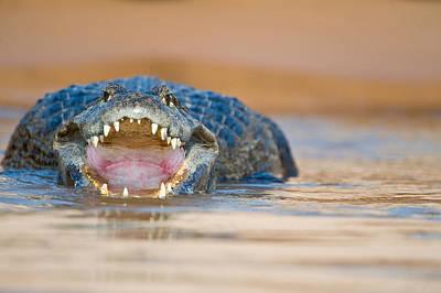 Wetlands Photograph - Yacare Caiman Caiman Crocodilus Yacare by Panoramic Images