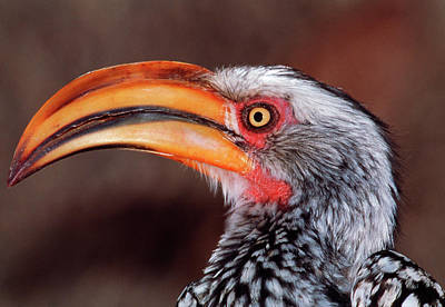 Yellow-billed Hornbill Art Print