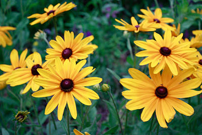 Photograph - Yellow Daisy Flowers #2 by Ann Murphy