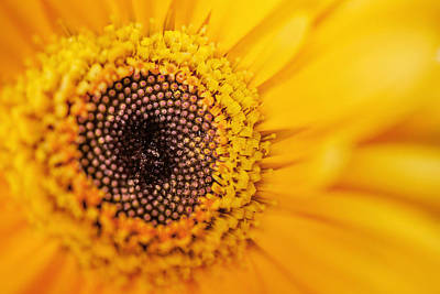 Photograph - Yellow Gerbera by TK Goforth