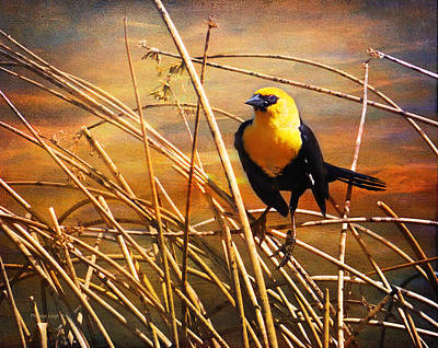 Photograph - Yellow - Headed Blackbird by Theresa Tahara