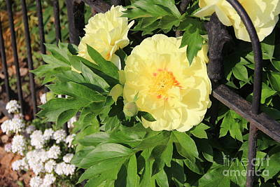 Photograph - Yellow Peonies And An Iron Fence by Rod Ismay
