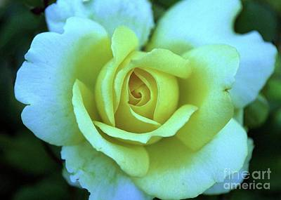 Photograph - Yellow Rose by Allen Beatty