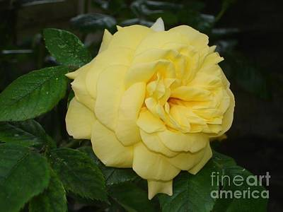 Photograph - Yellow Rose  by Katy Mei