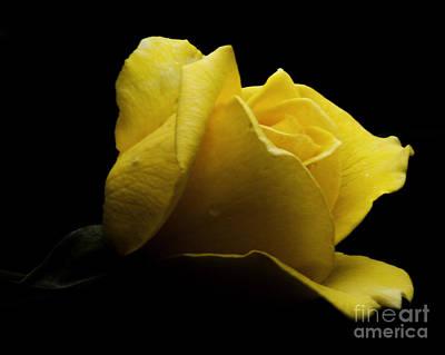 Photograph - Yellow Rose by Ronald Grogan