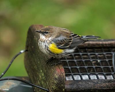 Photograph - Yellow-rumped-warbler by Robert L Jackson