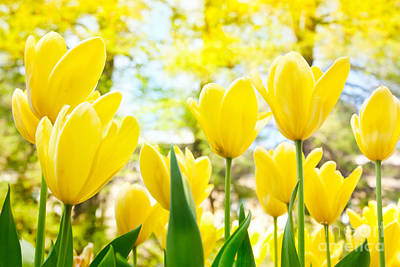 Yellow Tulips Art Print by Mythja  Photography