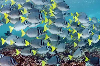 Surgeonfish Photograph - Yellowtail Surgeonfish (prionurus by Pete Oxford