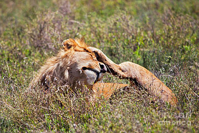 Cat Photograph - Young Adult Male Lion On Savanna. Safari In Serengeti. Tanzania. Africa by Michal Bednarek