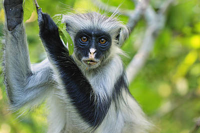 Zanzibar Red Colobus In Tree Jozani Print by Thomas Marent