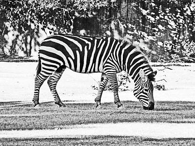 Photograph - Zebra by Lizi Beard-Ward