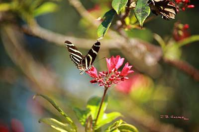 Photograph - Zebra Longwing by R B Harper