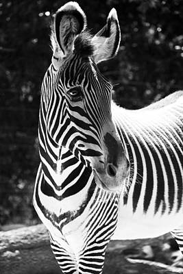 Photograph - Zebra Portrait by Aidan Moran