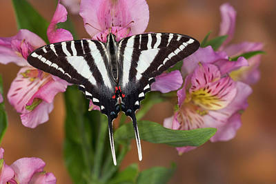 Peruvian Lily Photograph - Zebra Swallowtail Butterfly, Eurytides by Darrell Gulin