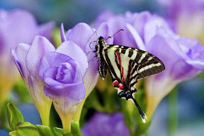 Blue Swallowtail Photograph - Zebra Swallowtail North American by Darrell Gulin