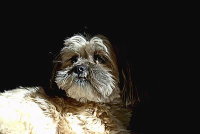 Canine Photograph - Zoe Shitz Tzu by Laura Strain