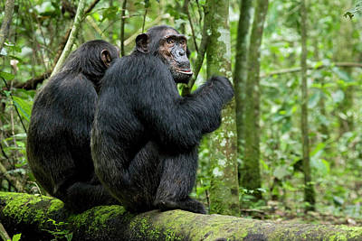 Uganda Photograph - Africa, Uganda, Kibale National Park by Kristin Mosher