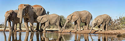 African Elephants Loxodonta Africana Print by Panoramic Images