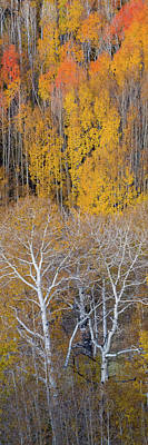 Staircase Scenes Photograph - Aspen Trees In A Forest, Boulder by Panoramic Images