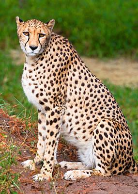 Photograph - Cheetah by Millard H. Sharp