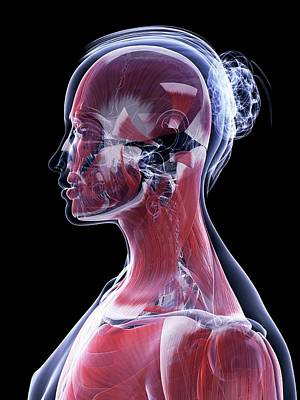 Human Head Photograph - Female Muscular System by Sebastian Kaulitzki