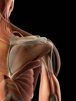 Human Shoulder Muscles Art Print by Sciepro