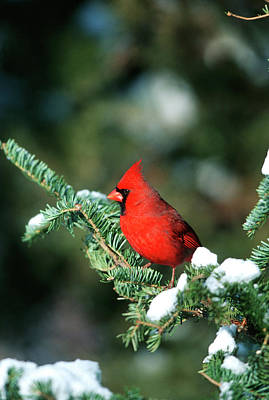 Northern Cardinal (cardinalis Cardinalis Art Print by Richard and Susan Day