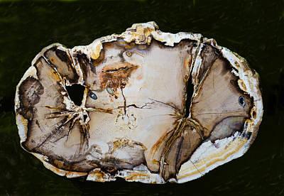 Photograph - Petrified Wood Tree Trunk Section by Millard H. Sharp