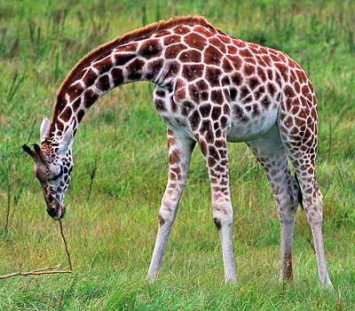 Photograph - Reticulated Giraffe by Millard H. Sharp