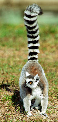 Photograph - Ring-tailed Lemur Lemur Catta by Millard H. Sharp