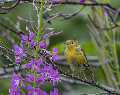 Photograph - Yellow Warbler by Doug Lloyd