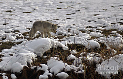 Photograph - 201p Coyote by NightVisions