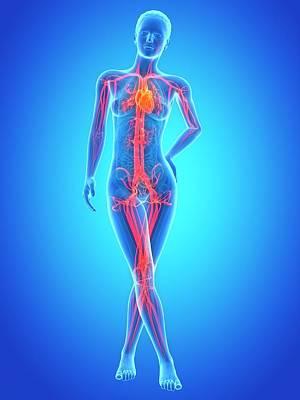 Human Vascular System Art Print