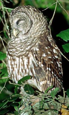 Photograph - Barred Owl by Millard H. Sharp
