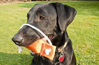 Dog Retrieving Photograph - Black Labrador Retriever by William H. Mullins