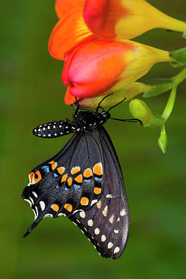 Black Swallowtail Butterfly, Papilio Art Print