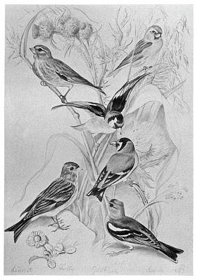 Goldfinch Drawing - Blackburn Birds, 1895 by Granger