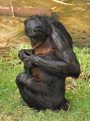 Photograph - Bonobo by Millard H. Sharp