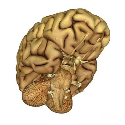 Brain Anatomy Art Print by Friedrich Saurer