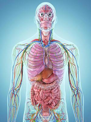 Human Internal Organ Photograph - Digestive System by Sciepro